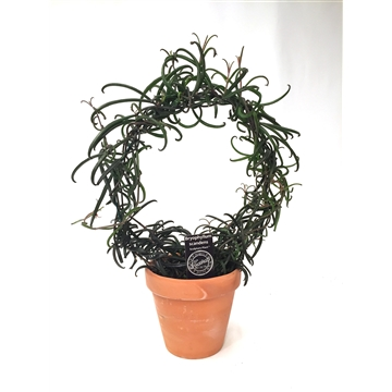 Kalahari, Bryophyllum Scandens w/hoop - dump in a 13,5cm clay pot