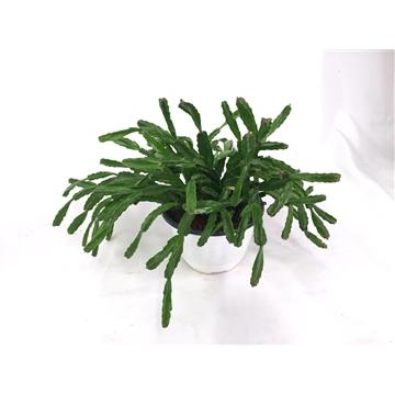 Sculpture Plant - S. x Exotica white plastic pot