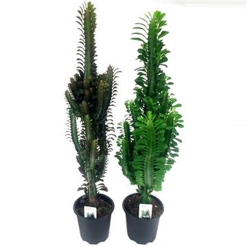 "Euphorbia Trigona ""Grande"" Mix - Red & Green 17 cm"