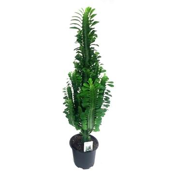 "Euphorbia Trigona ""Grande"" Green 17 cm"