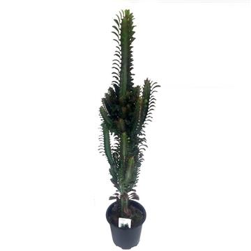 """Euphorbia Trigona """"Grande"""" Red 17 cm"""
