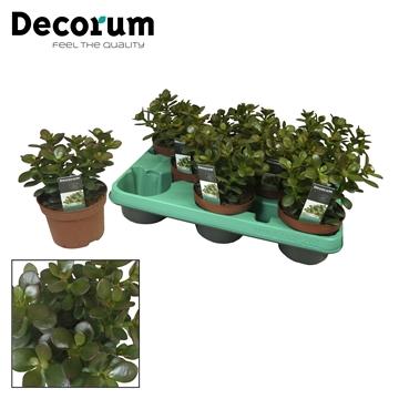 Crassula ovata 'Minor' (Decorum)