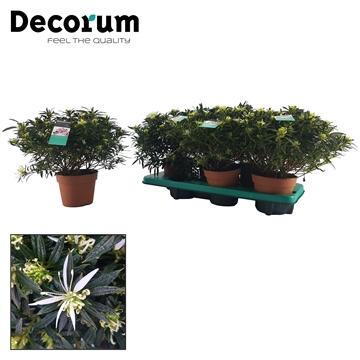 Azalea 14 cm 'Hekla' Decorum