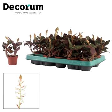 Ludisia 6,5 cm 'Discolor' Decorum