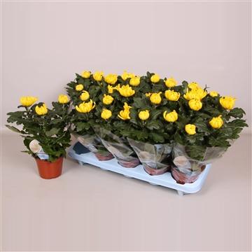 Deco Chrysant 12cm Geel
