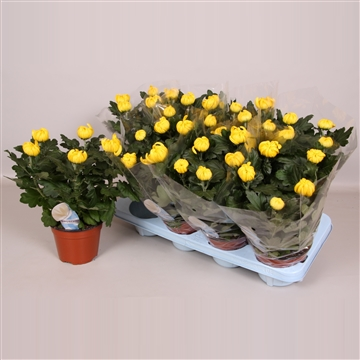 Deco Chrysant 14cm Geel