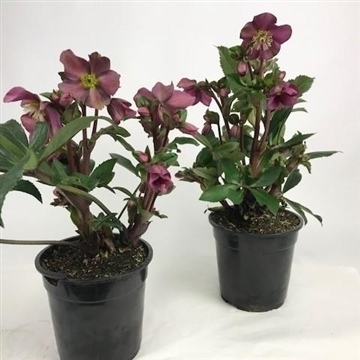 Helleborus Gold Collection® 'Ice N' Roses'