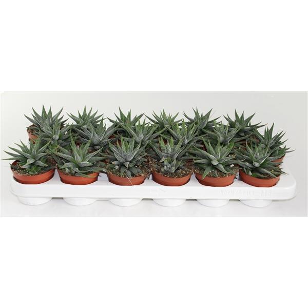Haworthia Concolor (125647) - FloraXchange