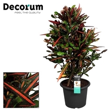 Croton Mammi vertakt in deco pot (Decorum)