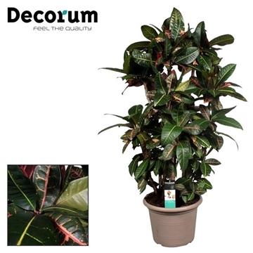Croton Petra zwaar vertakt in deco pot (Decorum)