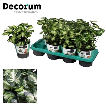 Syngonium Pixie (Decorum)