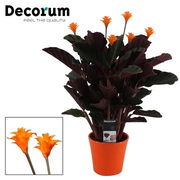 Calathea Crocata Candela 5/6 in oranje keramiek DECORUM