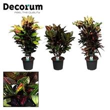 Croton vertakt mix in deco pot 25 (Decorum)
