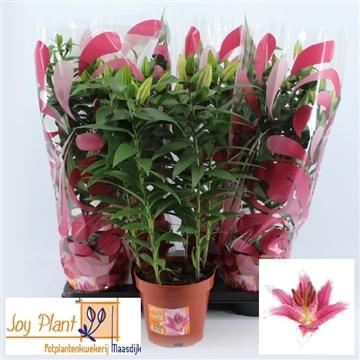 Lilium Oriental Grp 'Showwinner'