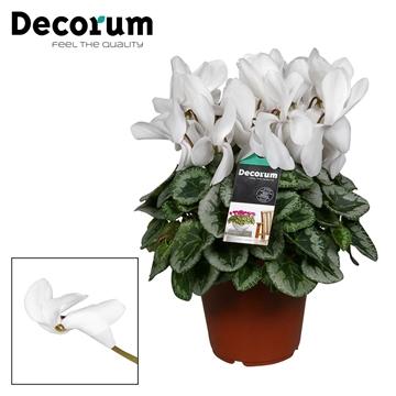 Cyclamen Halios Decora white