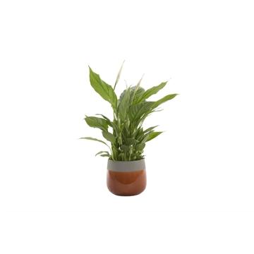 Urban & Green - Spathiphyllum 12 cm 'Torelli' in pot Christa