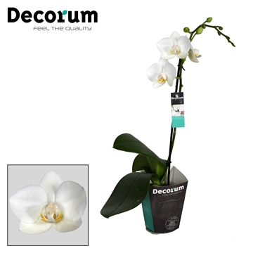 Decorum Chrystal White 1 tak 9+
