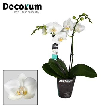 Decorum Chrystal White 2 tak 18+