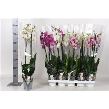 Phalaenopsis A2 mix 2tak 14-