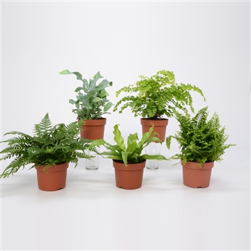 Overig kamerplanten gemengd Varen mix