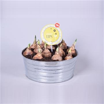 MoreLIPS® Narcis Lucky Number in zinken schaal