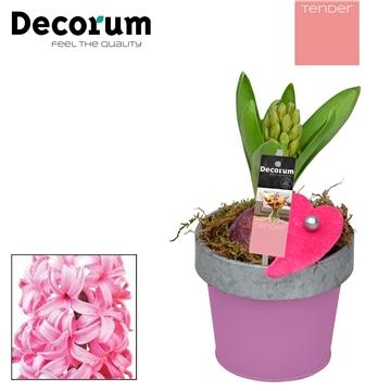 Hyacint Bucket & Border Mini HL17514PP [TENDER]