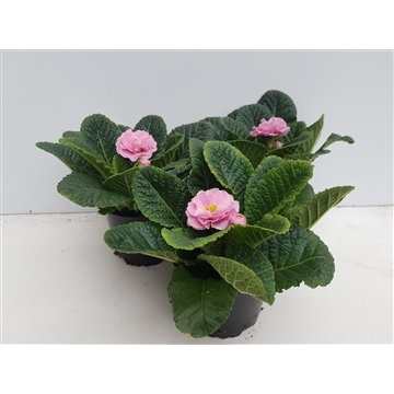 Primula princess rose