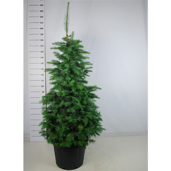 Abies concolor (10204017) - FloraXchange