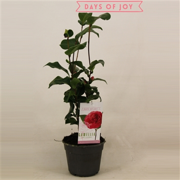 Camellia japonica 'Lady Campbell' 15 cm 5+knop