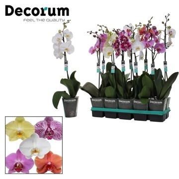 Gemengd - 1 Tak 9+ bloem Decorum