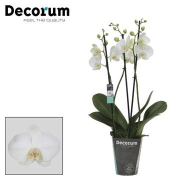 Tropic Iceman - 3 Tak Decorum