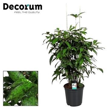 Drac Surculosa Vertakt 100-110 cm (Decorum)