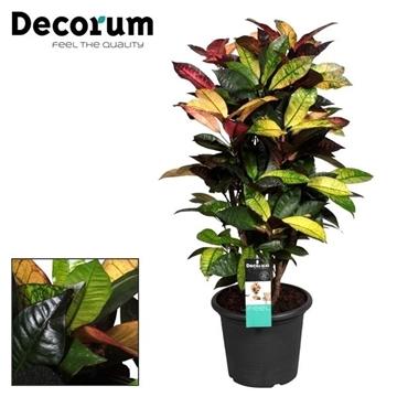 Croton Mrs. Iceton vertakt  in deco pot 80-90 cm (Decorum)