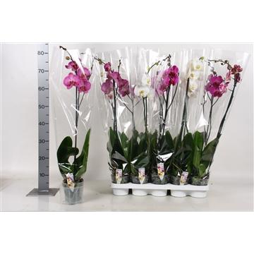 Phalaenopsis mix A2 1tak 6 t/m 9+