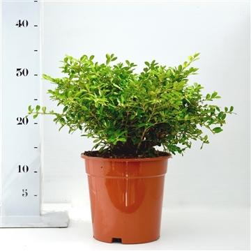 Buxus microphylla 'Herrenhausen' 20-25cm bodenbedekker
