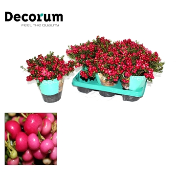 Pernettya Decorum 10,5cm Rood