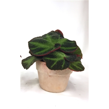 Begonia Rex Special No. 13 'Decora Iron' with Antique clay pot