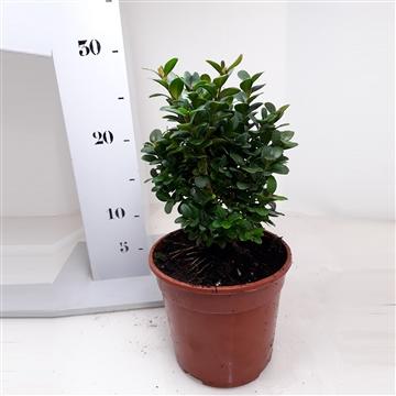 Buxus sempervirens 'Blauer Heinz' 15-20cm struik