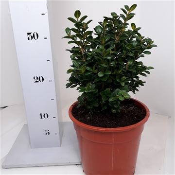 Buxus sempervirens 'Blauer Heinz' 20-25cm struik