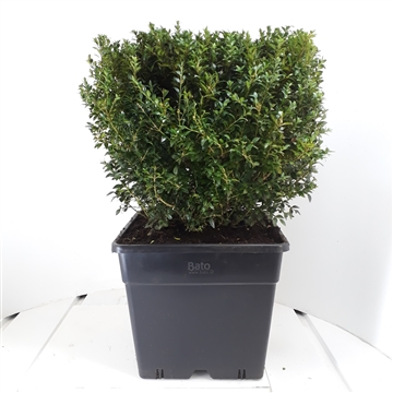 Buxus sempervirens Kubus 45cm