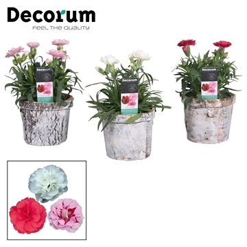 Dianthus - 9 cm - Oscar mix in Forest pot - Decorum