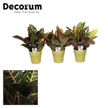 Croton Petra kopstek 3-5 pp in lime keramiek (Decorum)