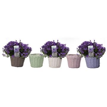 Campanula addenda in colored basket
