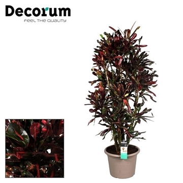 Croton Mammi vertakt in deco pot 145-150 cm (Decorum)