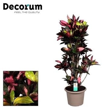 Croton Mrs. Iceton vertakt in deco pot 125-135 cm (Decorum)