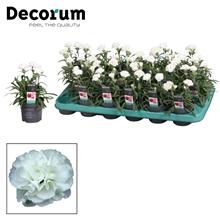 Dianthus - 9 cm - Snow (white) - Decorum