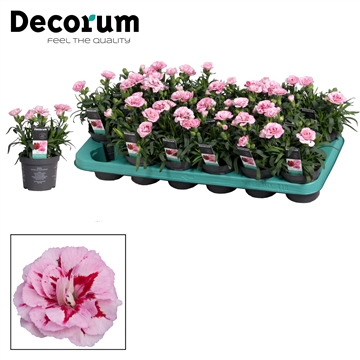 Dianthus - 9 cm - Oscar Pink and Purple - Decorum