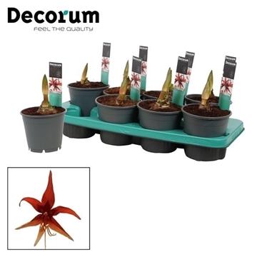 Hippeastrum Merenque 2 Knop (Decorum)