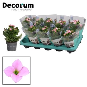 Kalanchoë enkelbloemig - 10,5 cm -  Morne (pink) - Decorum