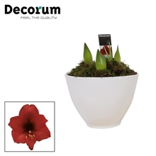 Hippeastrum Kolibri Mix 3pp in Ompot Faja (Decorum)